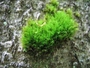 Dicrane vert - Breuches
